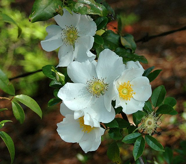 The 25 best cherokee rose ideas on pinterest cherokee for Cherokee rose