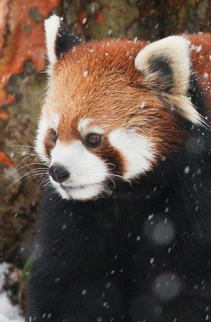 Aninimal Book: Red Panda in snow | Super Cute! | Pinterest | I wish, Snow ...