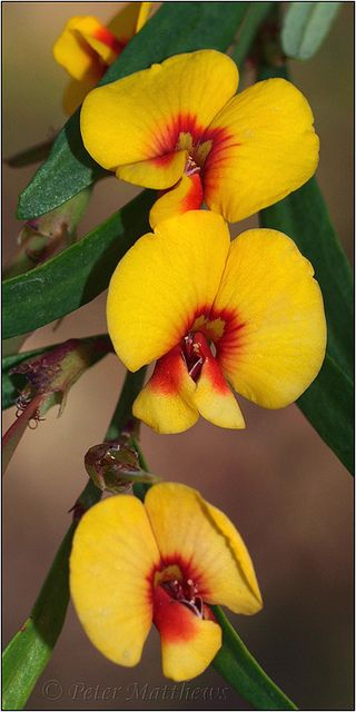 Golden Shower (bossiaea linophylla), Balingup, Western Australia | Pete on Flickr