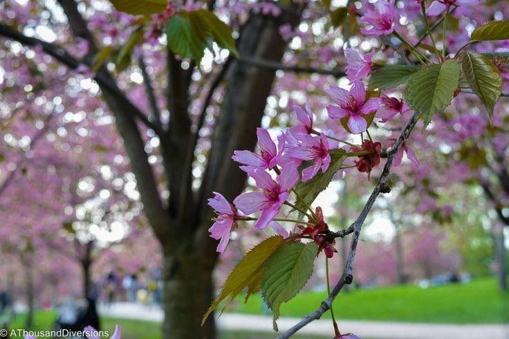 Cherry Blossoms in Helsinki