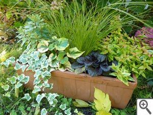 Composition d'automne en jardinière: Abelia floribunda, Carex testacea, Euphorbe purpurea panachée, Houttuynia cordata, Ajuga reptans (noir), Lierre panaché