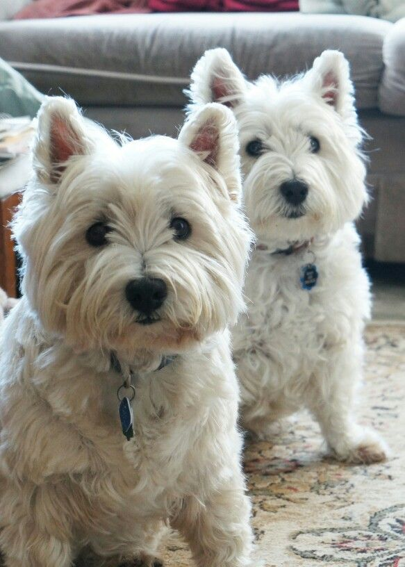 561 best westies images on pinterest westies cute dogs. Black Bedroom Furniture Sets. Home Design Ideas