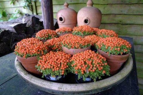Нертера — коралловый мох на Вашем участке