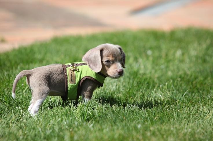 pixi....nano beagle at 7 weeks