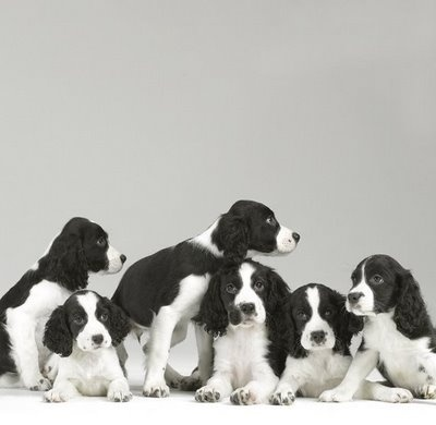 Springer Spaniel Pups - OMG, be still my heart!  I already own two of these wonderful dogs!
