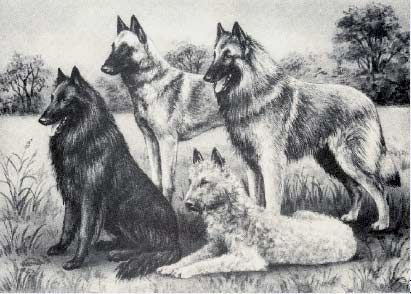 Belgian Sheepdogs (Groenendael, Laekenois, Tervuren, and Malinois)  separated into four distinct breeds in 1959, the Belgians are a fine example of the working dog.  Though primarily used for herding, the Belgian Malinois variety is used extensively for police and military work.  I grew up with the black variety Groenendael, generally called the Belgian Sheepdog in the US. #dogs #animal #belgian #sheepdog