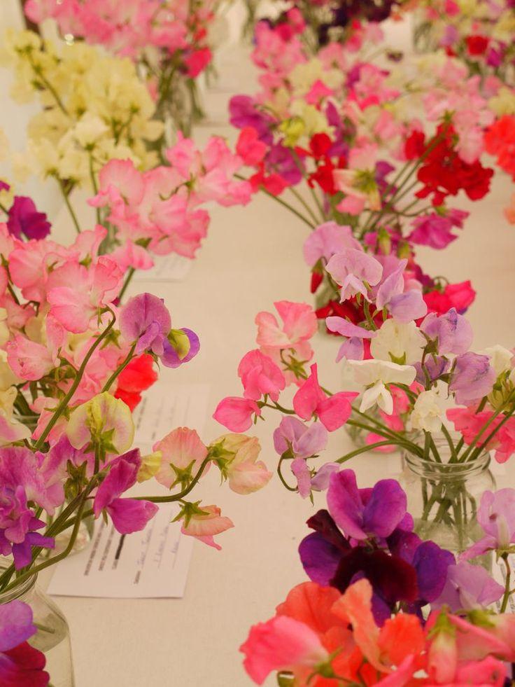 beautiful beautiful sweetpeas...: Pretty Colors, Beautiful Blends, Flower Beds, Blends Sweetpea, Beautiful Sweetpea, Sweets Peas, Pretty Sweetpea, Holy Moly, Favorite Flower