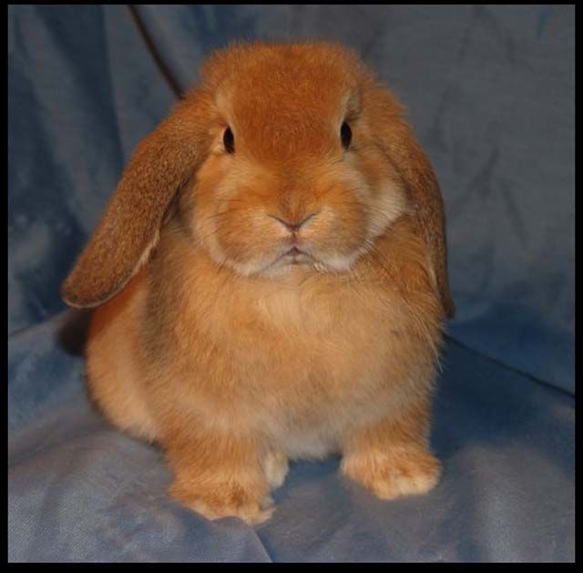 holland lop | Orange Holland Lop.