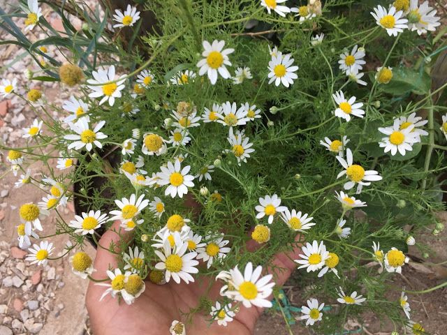 The Roman Variety Is The True Chamomile But German Chamomile Is Used Herbally For Nearly The Same Things Both Chamomile Growing Chamomile Plant Aromatic Plant