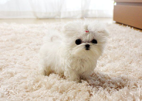 Teacup Maltese Puppy. Oh my gosh, just how small can they get. I would love one but I would be so afraid of stepping on it.