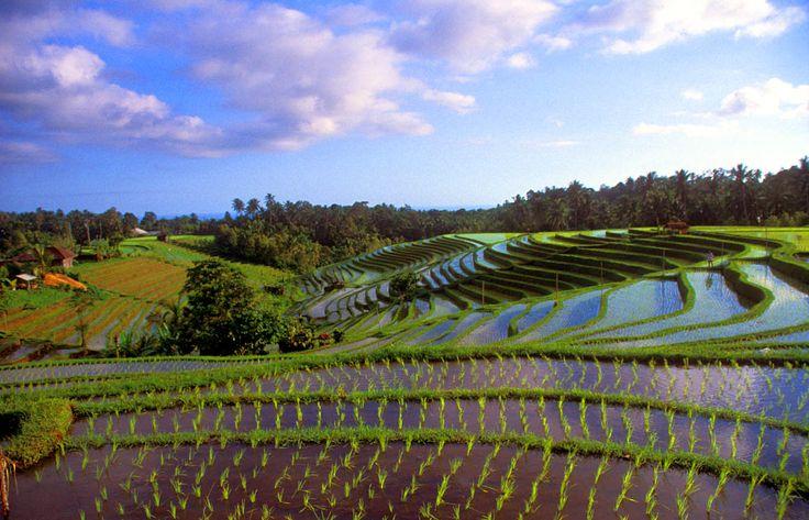 Ricefields near pupuan