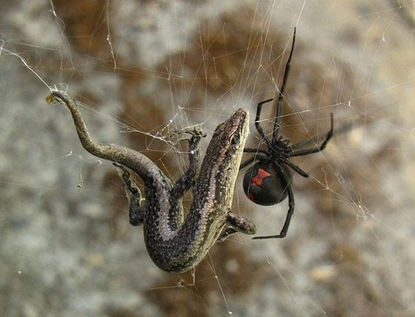 Australian Red Back spider (far more venomous than the Black Widow spider) and a…