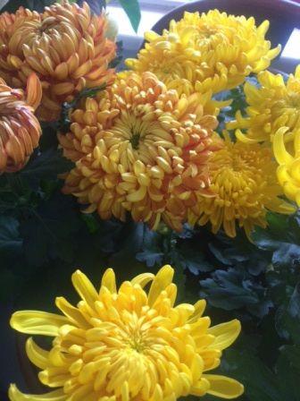 Potted Disbud Chrysanthemum