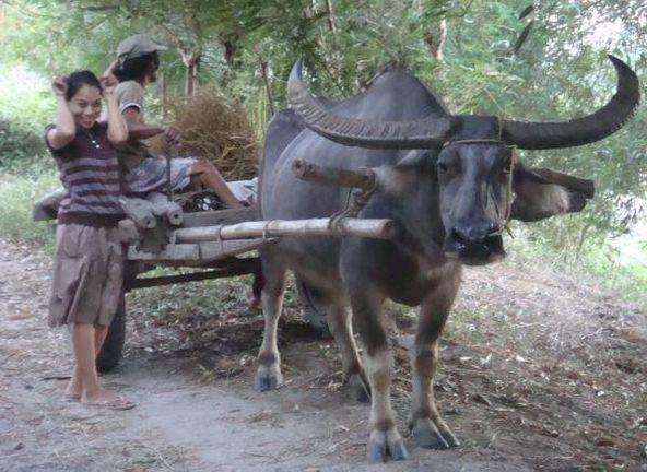 Huge horns carabao wagon | Philippines | Filipino tattoos ...