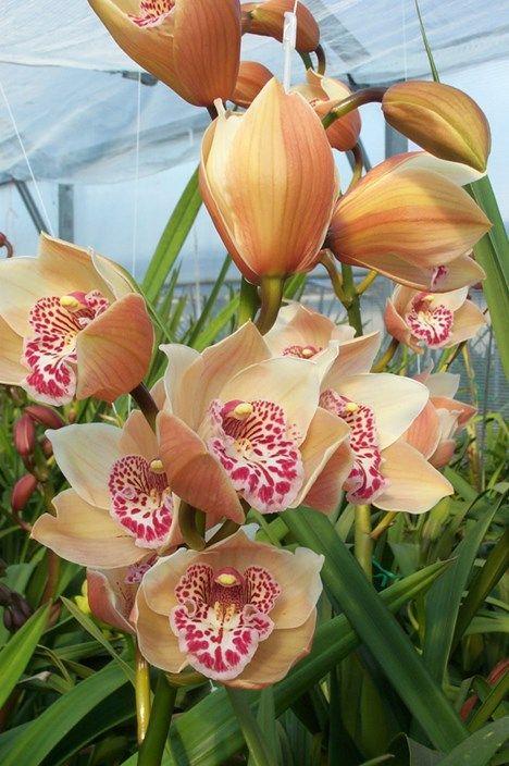 Eva Orchids Nursery - Christmas Passion 'Apricot'