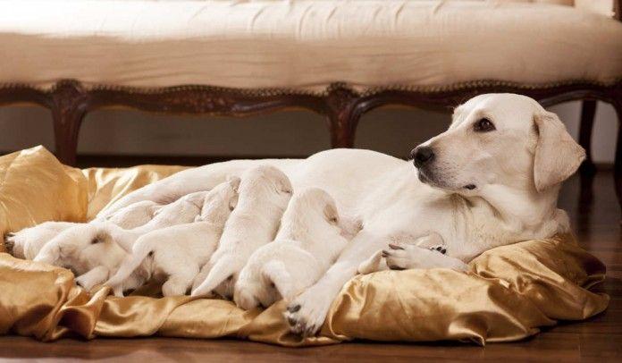 labrador breeders
