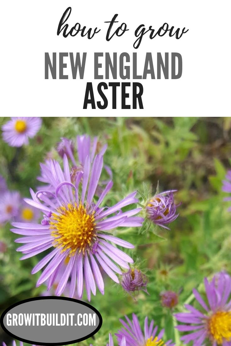 Pollinators Love To Visit New England Aster In The Late Summer Early Autumn It Is Valuable To Po Native Plant Gardening Pollinator Garden Wildflower Garden