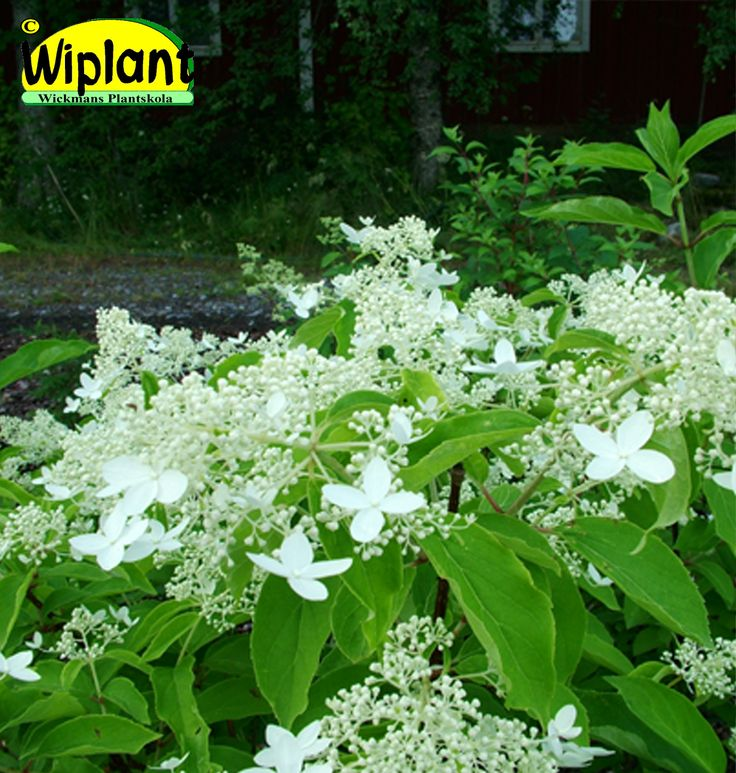 Hydrangea pan. 'Praecox', Tidig hortensia (månskenshortensia). FinE-sort. Blommar redan i juli, snygga blad. Höjd: 2-3 m.