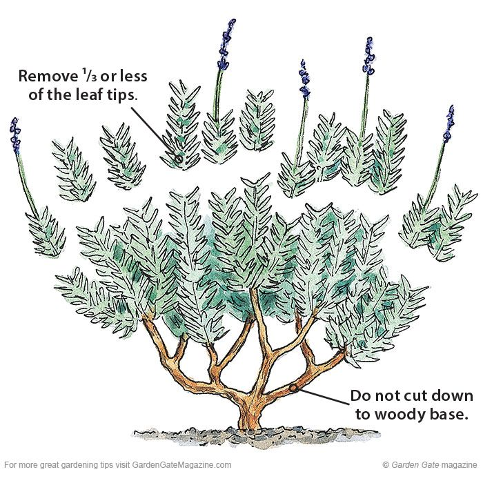 Clean up lavender | Garden Gate eNotes: Only remove a third of the leafy growth. Cutting too late in the season, back to bare woody stems or removing too much foliage stresses the plant and often kills it.