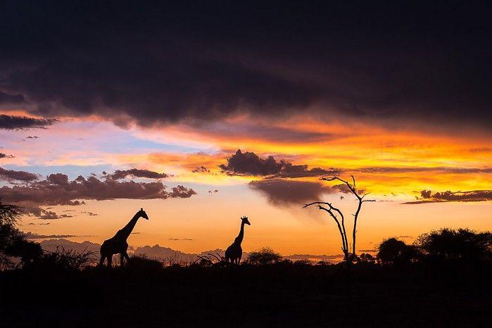 Giraffe at Mombo Camp, Okavango Delta