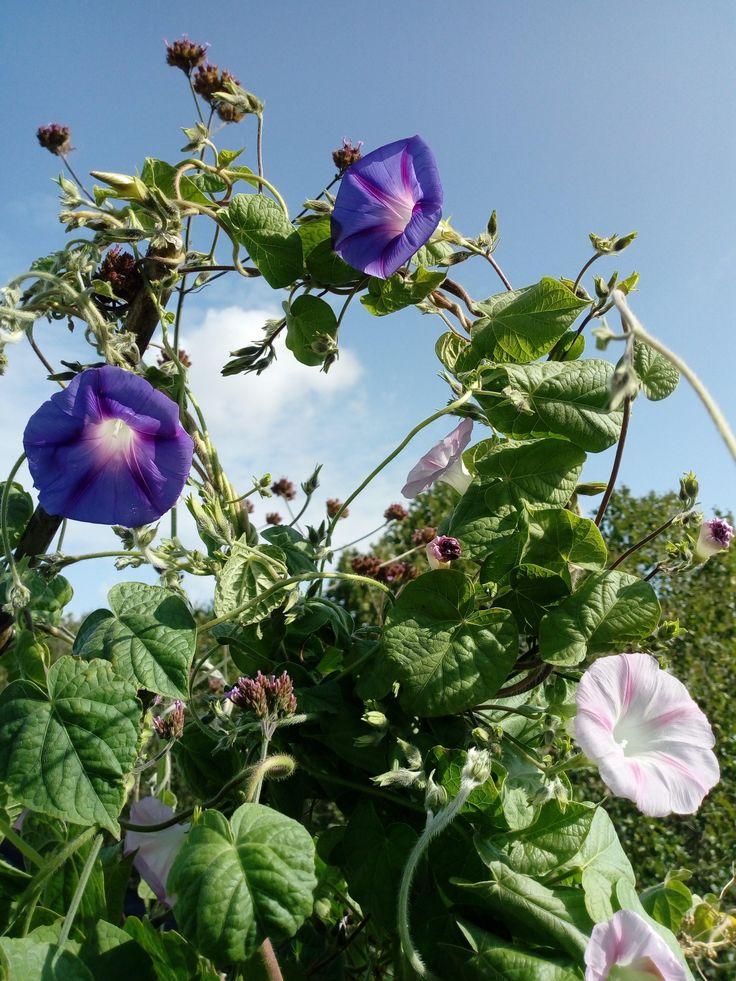 Glorious Morning Glories Gardening Garden Diy Home 400 x 300