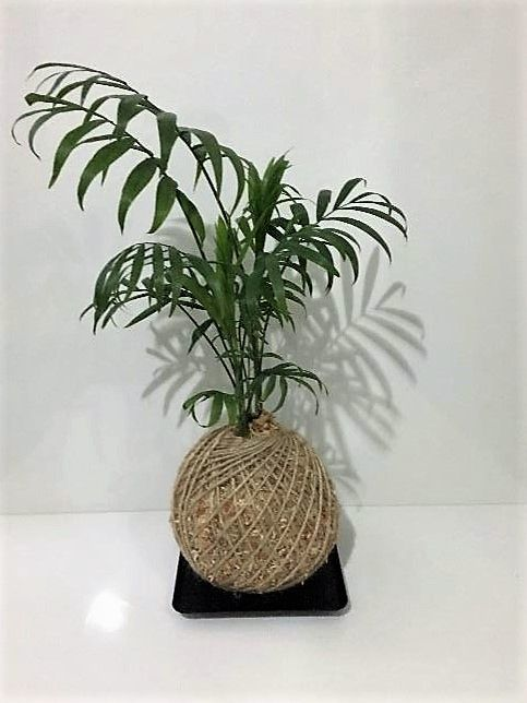 Parlour Palm Kokedama perfect for the indoors.