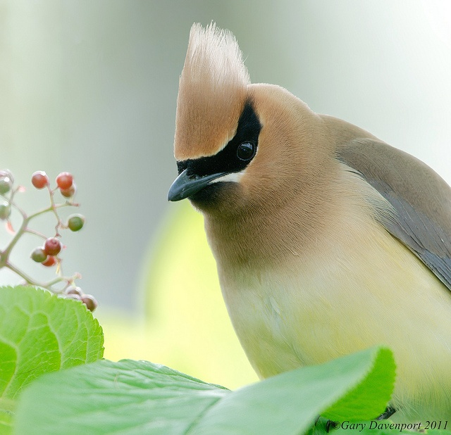 Cedar waxwing, by Garebear400Favorite Birds, Birds Birds, Birds Watches, Beautiful Birds, Animal Stories, Cedar Waxwing, Birds Extraordinary, Hiking, Adorable Animal