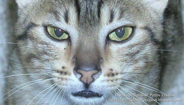 Mirada muy expresiva del Mau Egipcio. Imagen del Mau Egipcio. Gato de raza (Very expressive look Egyptian Mau. Image of Egyptian Mau. Cat of breed)