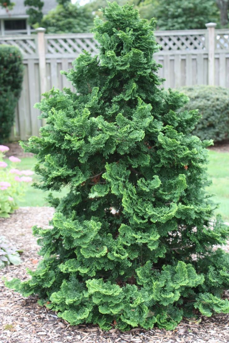 Golden mop cypress dwarf shrub hinoki cypress for The evergreen