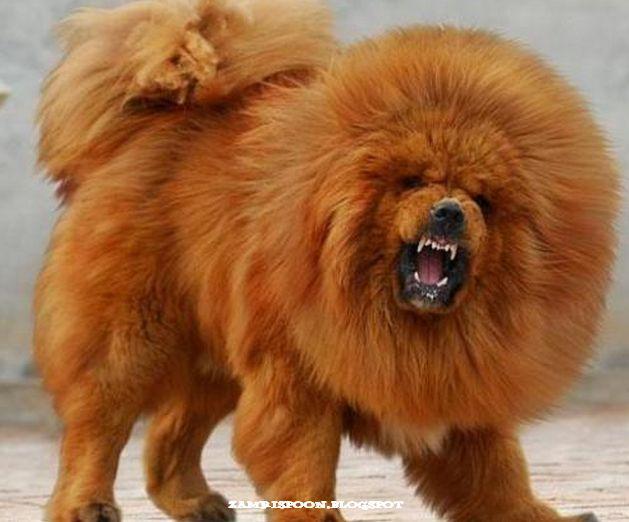 Tibetan Mastiff ... looks like a loin! | danny likes ...