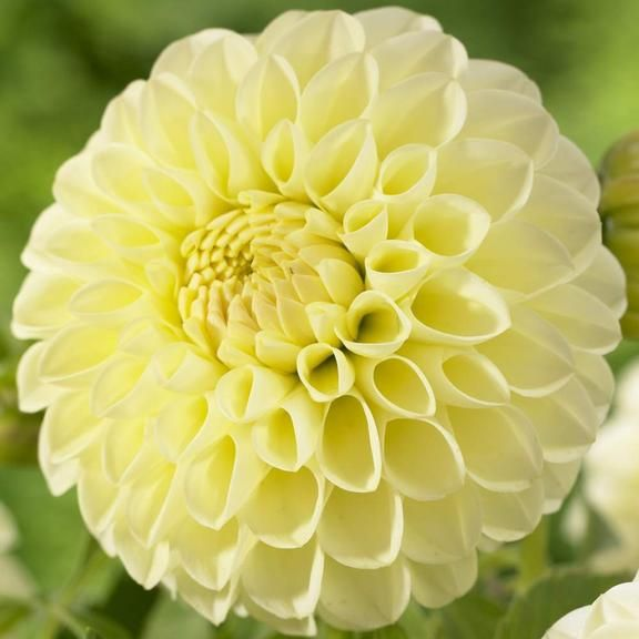 Dahlia Ball Boom Boom Yellow | Gardens, Colors and The o'jays