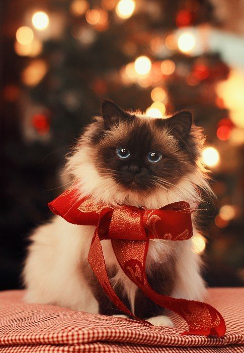 Sweet present. For more Christmas cats, visit https://www.facebook.com/funholidaycats