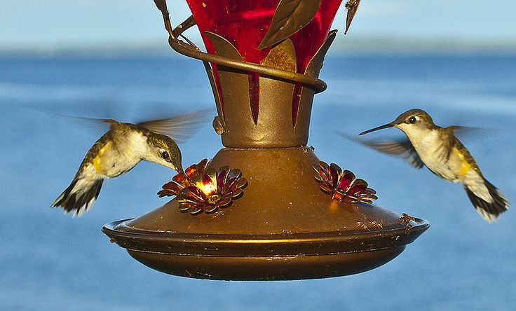 The Best Ever Hummingbird Food Recipe