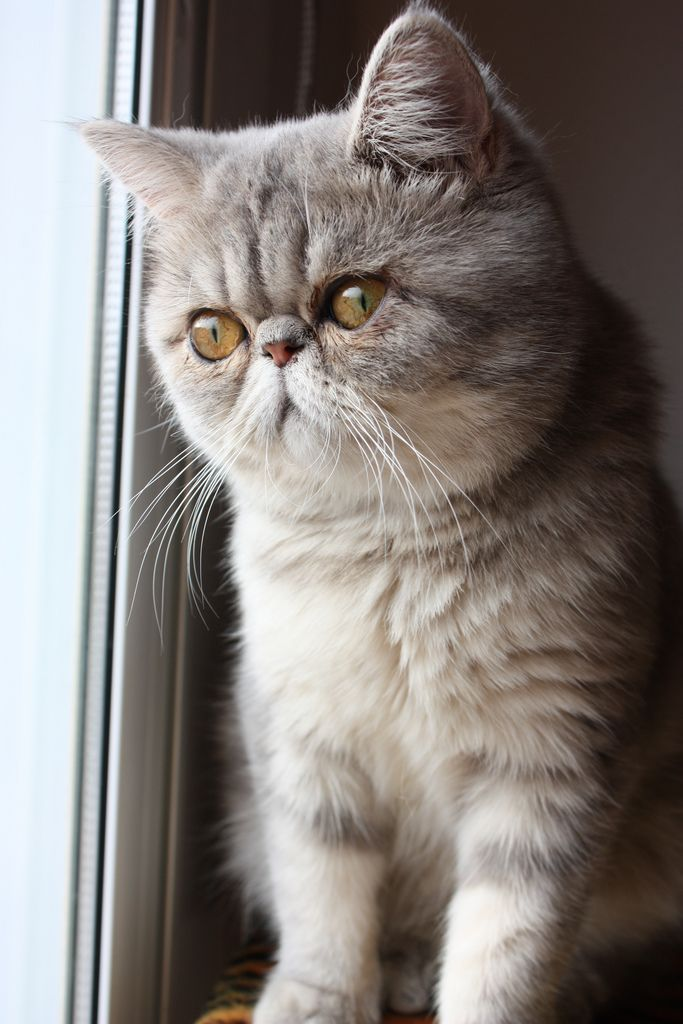 121 best images about exotic shorthairs!!! on Pinterest ...