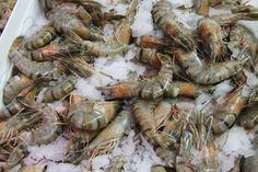 How to Start Freshwater Shrimp Farming