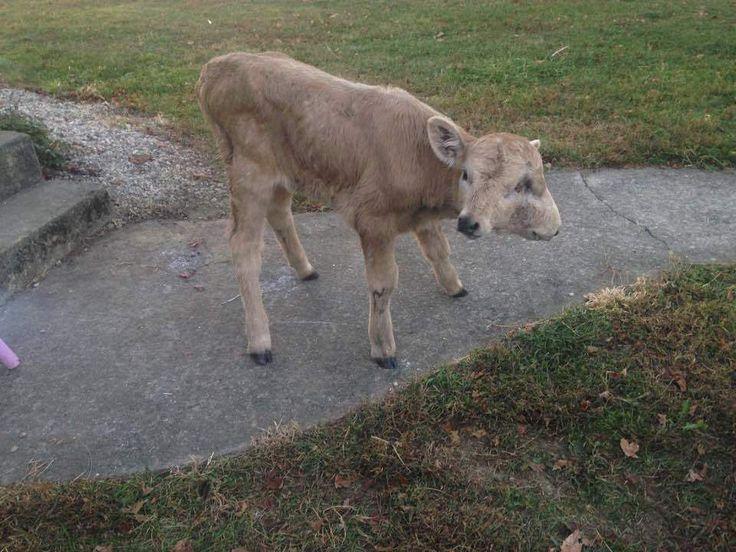 CAMPBELLSVILLE, Kentucky, EE.UU. (AP) — Una becerra de dos caras llamada Lucky murió en Kentucky después de que la familia que la trató como una mascota recaudó miles de dólares para ayudar al animal.