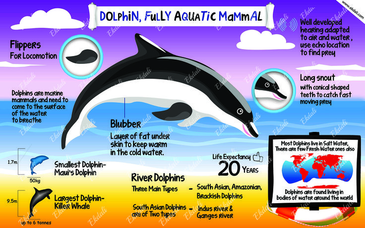 #Dolphin #Marine Mammal #Poster #Charts #Kids #education #Posters for kids #ekdali  Dolphins jump & play because they need to come to the surface to breathe. Learn and teach more about this species with this poster.