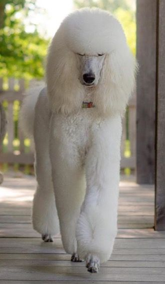 White standard poodle                                                                                                                                                                                 More