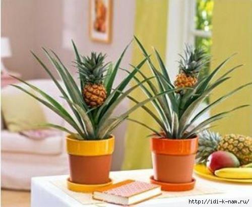 Верхушечная розетка шапка ананаса