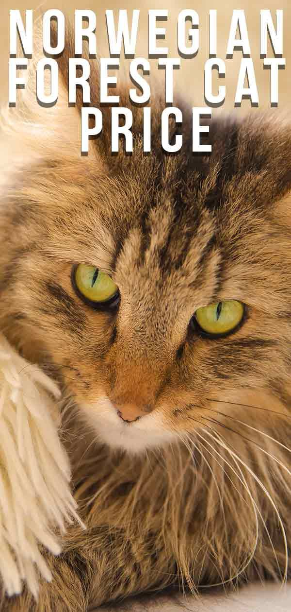 Norwegian Forest Cat Price How Much Will Your New Kitty Cost Norwegian Forest Cat Norwegian Forest Cat Price Forest Cat