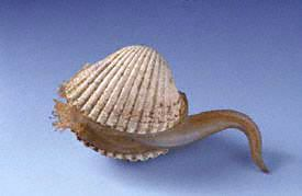 """A glass model by the Blaschkas of a cockle with foot extended, probably after Gosse's engraving in The Aquarium, 1854. """"Sent to me .. by the Reverend Charles Kingsley were a posse of cockles."""""""