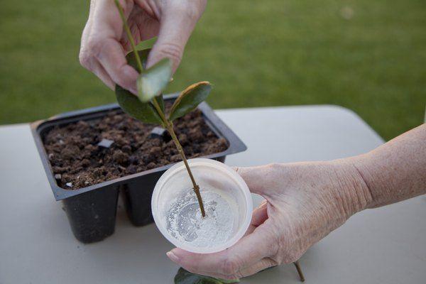 How To Propagate Bottlebrush Plants From Cuttings Hunker Jasmine Vine Star Jasmine Vine Jasmine Plant