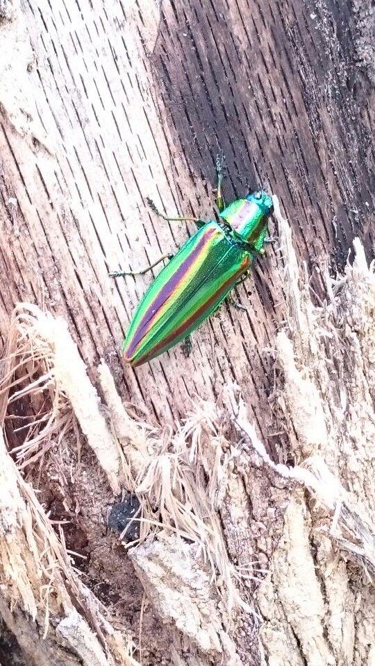 玉虫   田舎に住む人でもめったに見かけないと言われる虫。