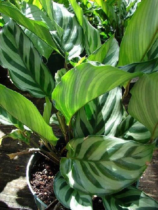 Le calathea est une belle plante d'intérieur originaire d'Amérique du Sud. Voici quelques conseils pratiques pour prendre soin de cette plante verte décorative. par Audrey