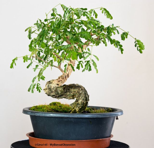My Bonsai Obsession: A Tree with Dramatic Curves - 19 Months Later