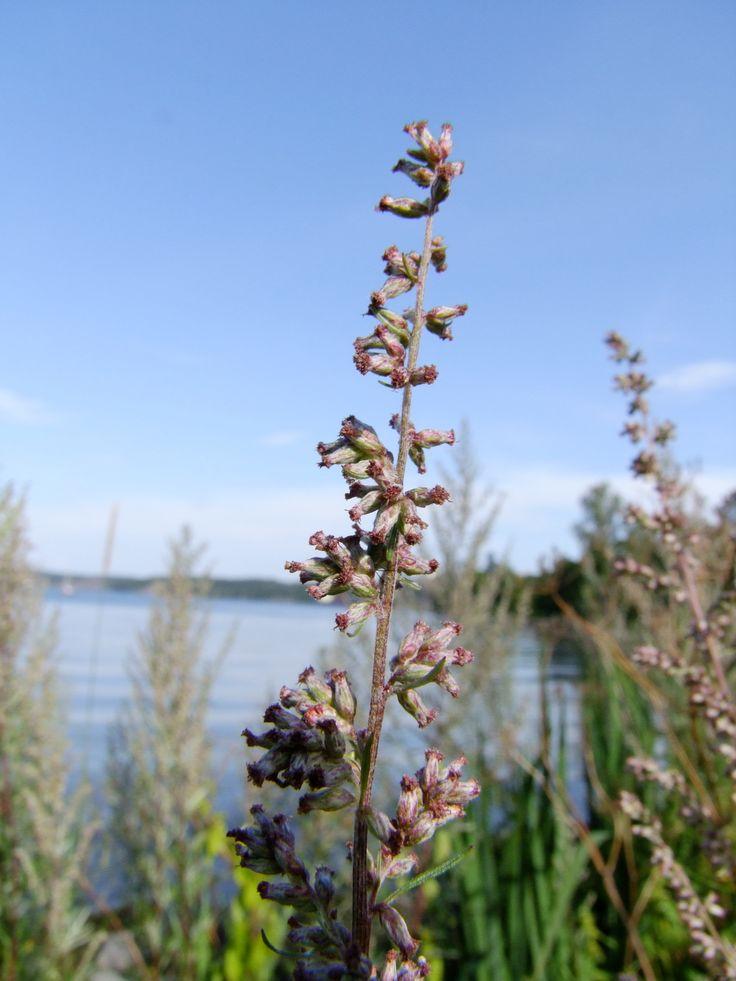 Nu är sommarvärmen här och Gråbo blommar för fullt - Blommande Gråbo. Foto: Pia Östensson