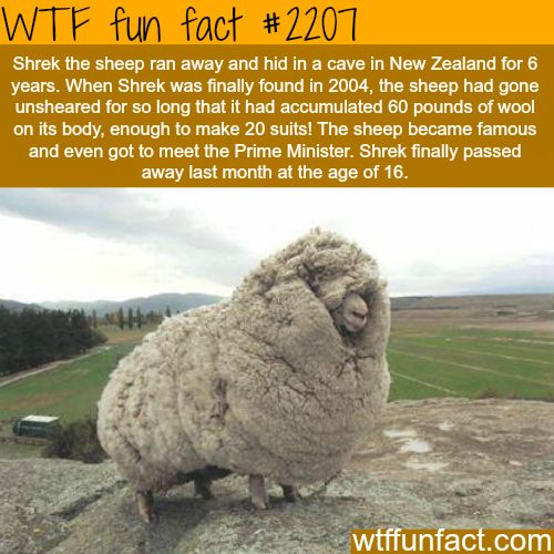 Shrek the sheep - WTF fun facts: ish sho FLUFFYY~~~