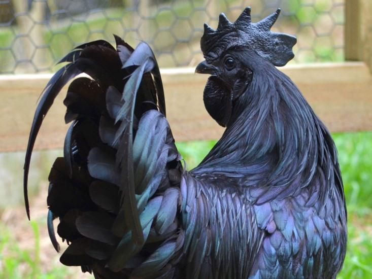 Inside the Goth Chicken: Black Bones, Black Meat & a Black Heart