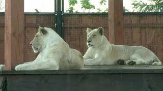 """""""O Grito do Bicho"""": Nascimento de leões e tigres brancos é show raro e..."""