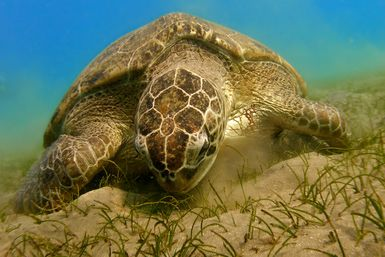 Turtle Tidbits: What Do Turtles Eat?: Green sea turtle grazing on sea grass.